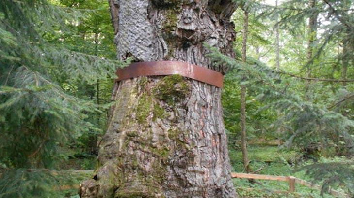 Юзефінський дуб